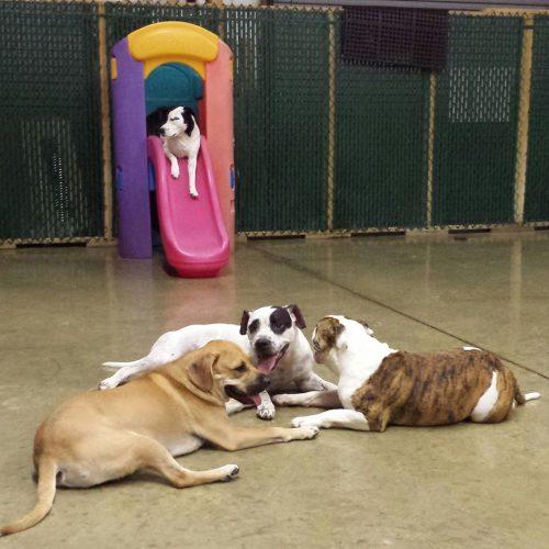 dogs socializing at dog dayz daycare